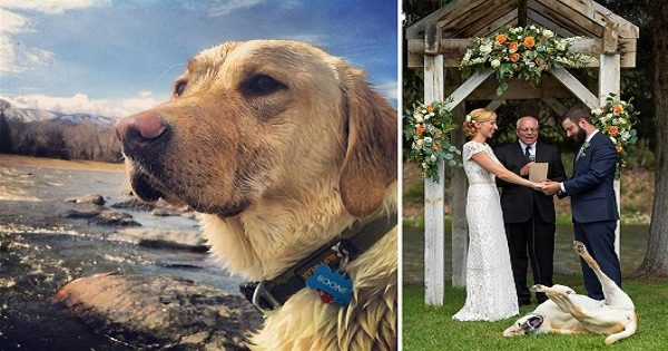 Labrador Retriever Steals the Show at Owner's Wedding with Funny Antics